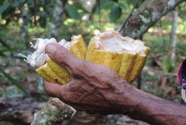 Cacao: de oro a cenizas