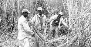 zafra de la caña de azúcar, en Guanacaste.