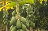 Papayeros reportan daños a sus cultivos ocasionados por piñera.