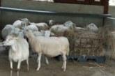 Banco Popular impulsa proyecto cooperativo y de bien social de productores de ovejas de Cartago