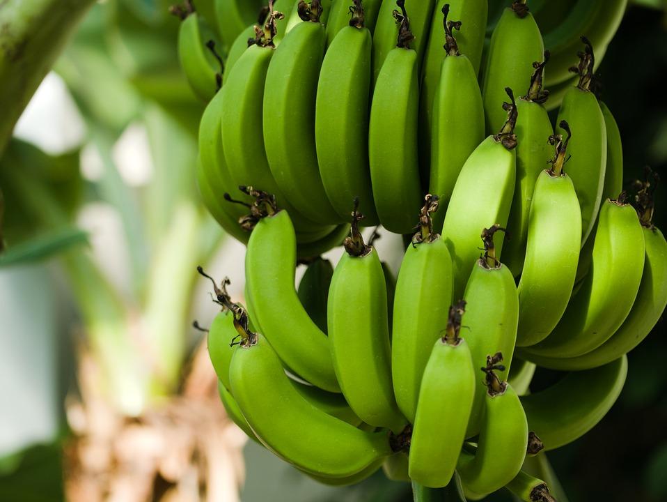 Pococí será sede de la I Feria Caribeña del Banano