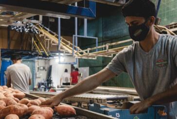 Empresa Sancarleña hace primera exportación de camote naranja a Europa