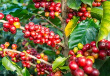 Asesoría Técnica del MOPT recomienda exonerar revisión técnica a vehículos de trabajo de pequeños agricultores para que puedan transportar cosecha de café.