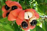Ackee, el fruto delicioso pero peligroso